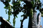 V THAJSKU ROSTOU ŽENY NA STROMĚ (ต้น มักกะลีผล)