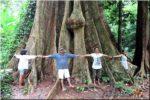 NEJVĚTŠÍ STROM V THAJSKU (ต้นไม้ใหญ่), Ko Yao Noi