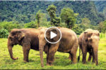 NATIONAL ELEPHANT DAY (วันช้างไทย)